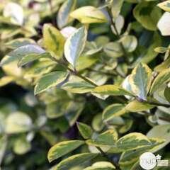 Ligustrum ovalifolium 'Aureum' :H 100/120 cm pot 7,5L