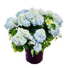 Hydrangea forever and ever C 12L