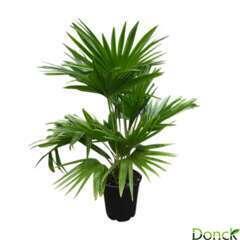 Livistona chinensis:H100 cm pot D24 cm