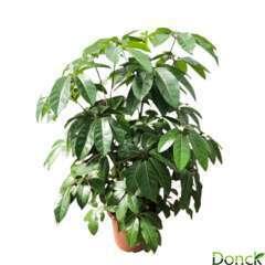 Schefflera 'Amate':4 pieds H 160 cm pot D45 cm