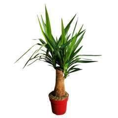 Yucca tige :H 90 cm pot D23 cm