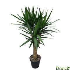 Yucca tige ramifié :H 140 cm pot D 31 cm