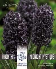 Jacinthe midnight mystique X3