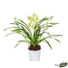 Orchidée Cymbidium 'Mint Source' 3 tiges - pot D.12 cm