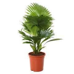 Livistona rotundifolia pot D17cm