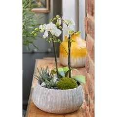 Composition Orchidée & Haworthia, coupe D24cm