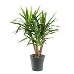 Yucca ramifié, pot D24cm H100cm
