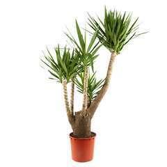 Yucca ramifié, pot D35cm H170cm