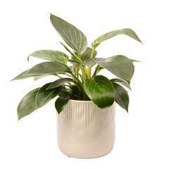 Philodendron 'White wave' cache-pot céramique D13cm