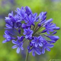 Agapanthe 'Brilliant blue' - pot de 4 litres