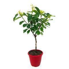 Fruit Me ® Cherry Me 'Burlat':Pot 10L XL