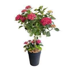 Hydrangea Macrophylla Ningbo' : 1/4T, pot 7L