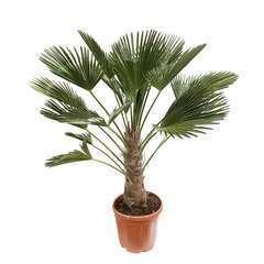 Trachycarpus  wagnerianus pot 20L