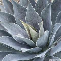 Magave 'Lavender Lady':pot 3L