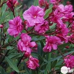 Nerium Oleander pot 7L
