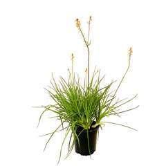 Bulbine frutescens 'Hallmarck':pot 4,5L