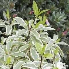 Pittosporum tenuifolium:pot 4.5L