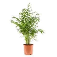 Chamaedora (palmier nain) pot D24cm