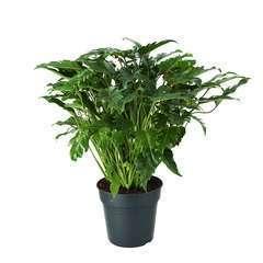 Philodendron Xanadu pot D27cm