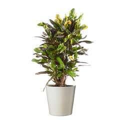 Croton Mammy' : cache- pot sable D21cm