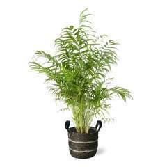 Chamaedora (palmier nain) pot déco foncé D24cm