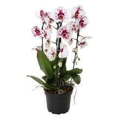 Orchidée Phalaeonopsis 'Crown' en cascade 3 tiges - pot D.21 cm