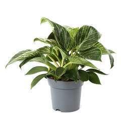 Philodendron 'White wave' cache-pot céramique D14cm