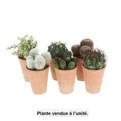 Compo cactées et succulentes pot D15cm