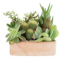 Compo cactées et succulentes pot D21cm