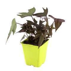 Plant de patate douce 'Takatoto' : pot de 1 litre