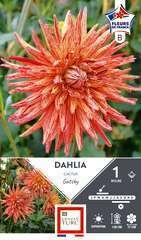 Dahlia Cactus Gatsby Fdf I X1