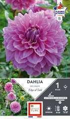 Dahlia Deco E.Of Gold Fdf I X1
