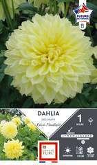 Dahlia Dec.K.Floodlight Fdf X1
