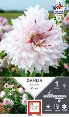 Dahlia Deco Riviera Fdf I X1