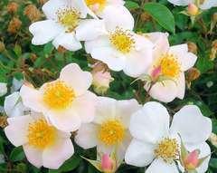 Rosier buisson blanc rosé 'Ami bernard mando' : pot de 5 litres