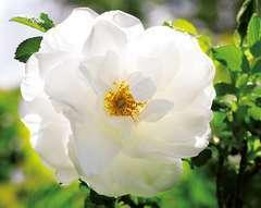 Rosier arbustif blanc pur 'blanc double de coubert' : pot de 5 litres