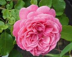Rosier buisson rose vif 'Claire' : pot de 5 litres