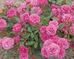 Rosier buisson rose 'Gabrielle privat' : pot de 5 litres