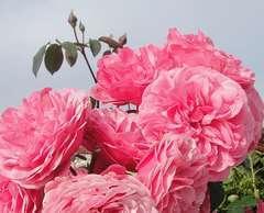 Rosier buisson rose franc 'Leonard de vinci' : pot de 5 litres