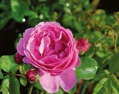 Rosier arbustif rose 'Louise odier' : pot de 5 litres