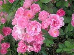 Rosier buisson rose bonbon 'Maman turbat' : pot de 5 litres