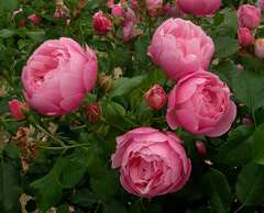 Rosier buisson rose 'Marie blanc paille' : pot de 5 litres