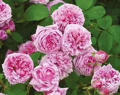 Rosier buisson rose doux 'Mme boll' : pot de 5 litres