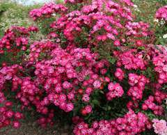 Rosier buisson rose vif 'Myriam courir pour elles' : pot de 5 litres
