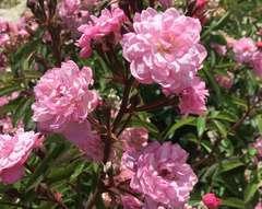 Rosier arbustif rose 'Petite coquine de chedigny' : pot de 5 litres