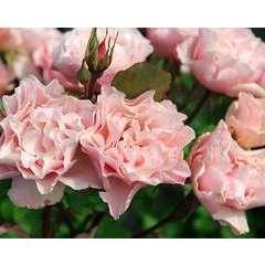 Rosier buisson rose saumoné 'Porcelaine d'orient' : pot de 5 litres