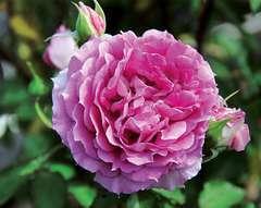 Rosier Buisson rose soutenu 'Princesse d'orient' : pot de 5 litres