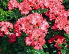 Rosier buisson rose corail 'Robert louis stevenson' : pot de 5 litres