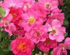 Rosier grimpant rose rose vif 'Rose bonbon' : pot de 5 litres