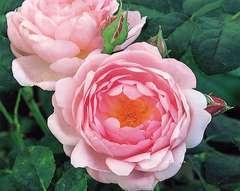 Rosier buisson rose 'Scepter d'isle' : pot de 5 litres